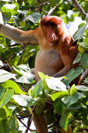 Brunei's Proboscis Monkey Tour